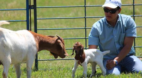 A pre-veterenary medicine student examining a kid goat in a pen.