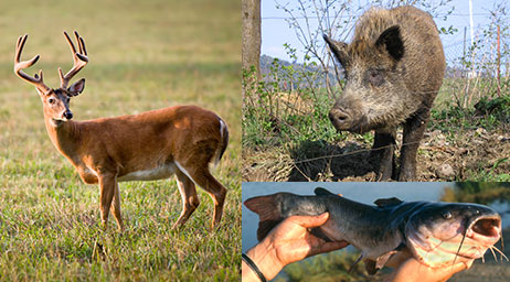 White-tail deer, wild hogs, and catfish are some of the wildlife studied in this program.