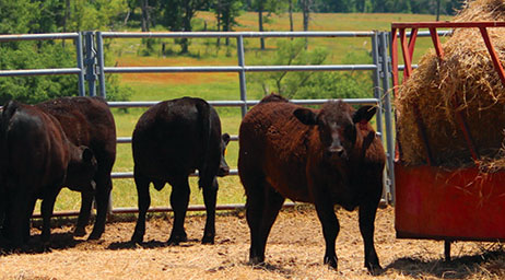 bulls outside with hay