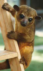 (Archived) Truth Be Told--A Bearkat is NOT a Kinkajou OR a ...